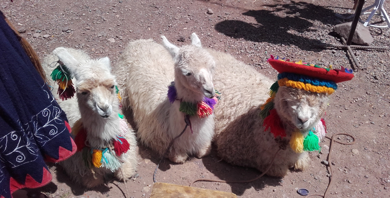 Llamas and alpacas in Perú
