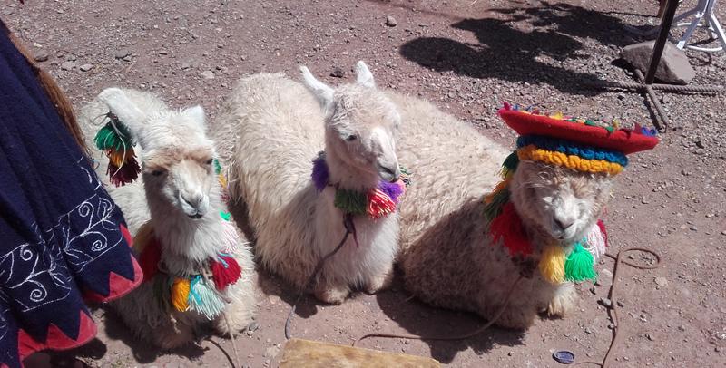 En orden: llama, llama y alpaca.