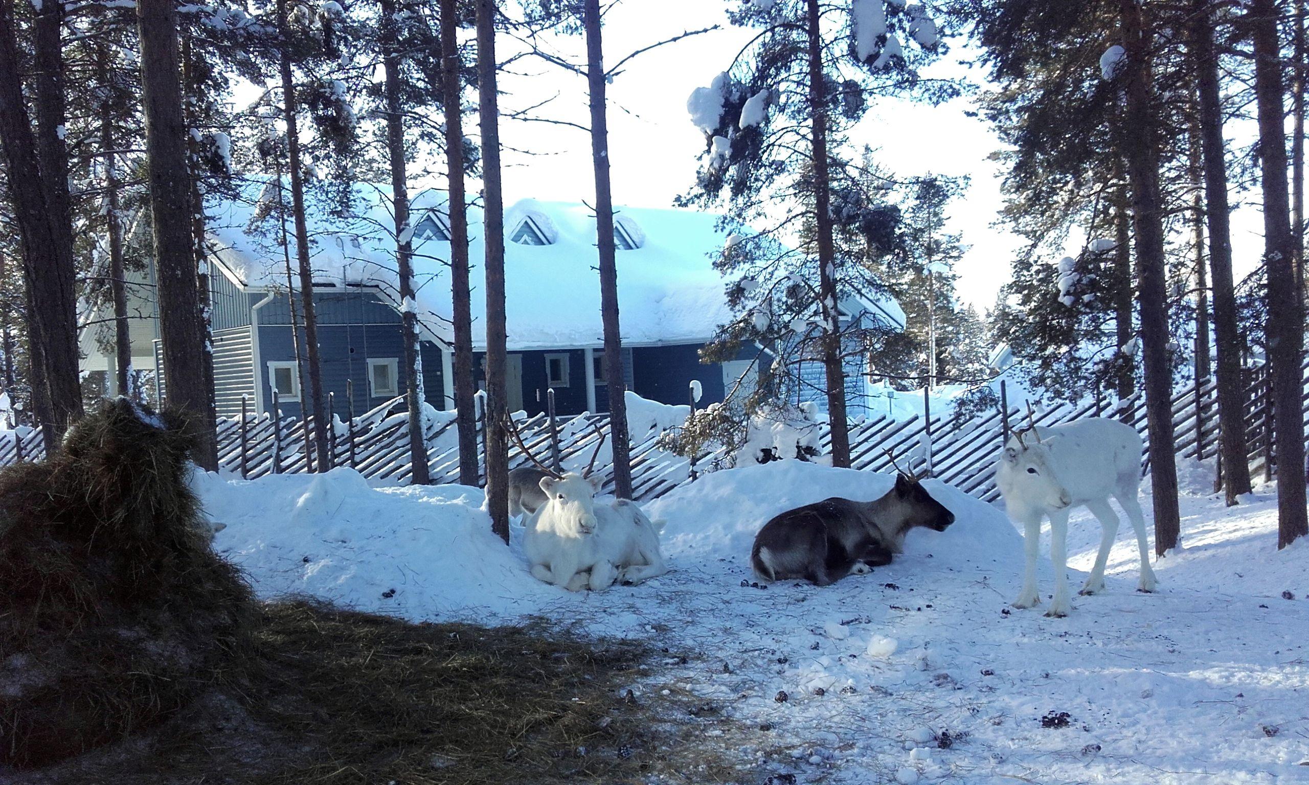 Granja de renos en Levi