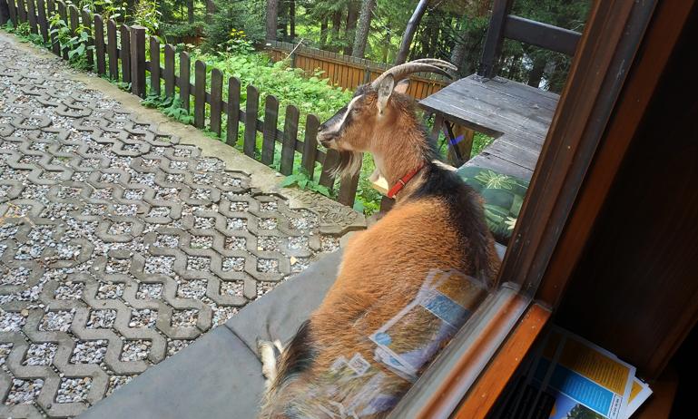 La cabra sentada en el banco, esperando a que saliéramos...