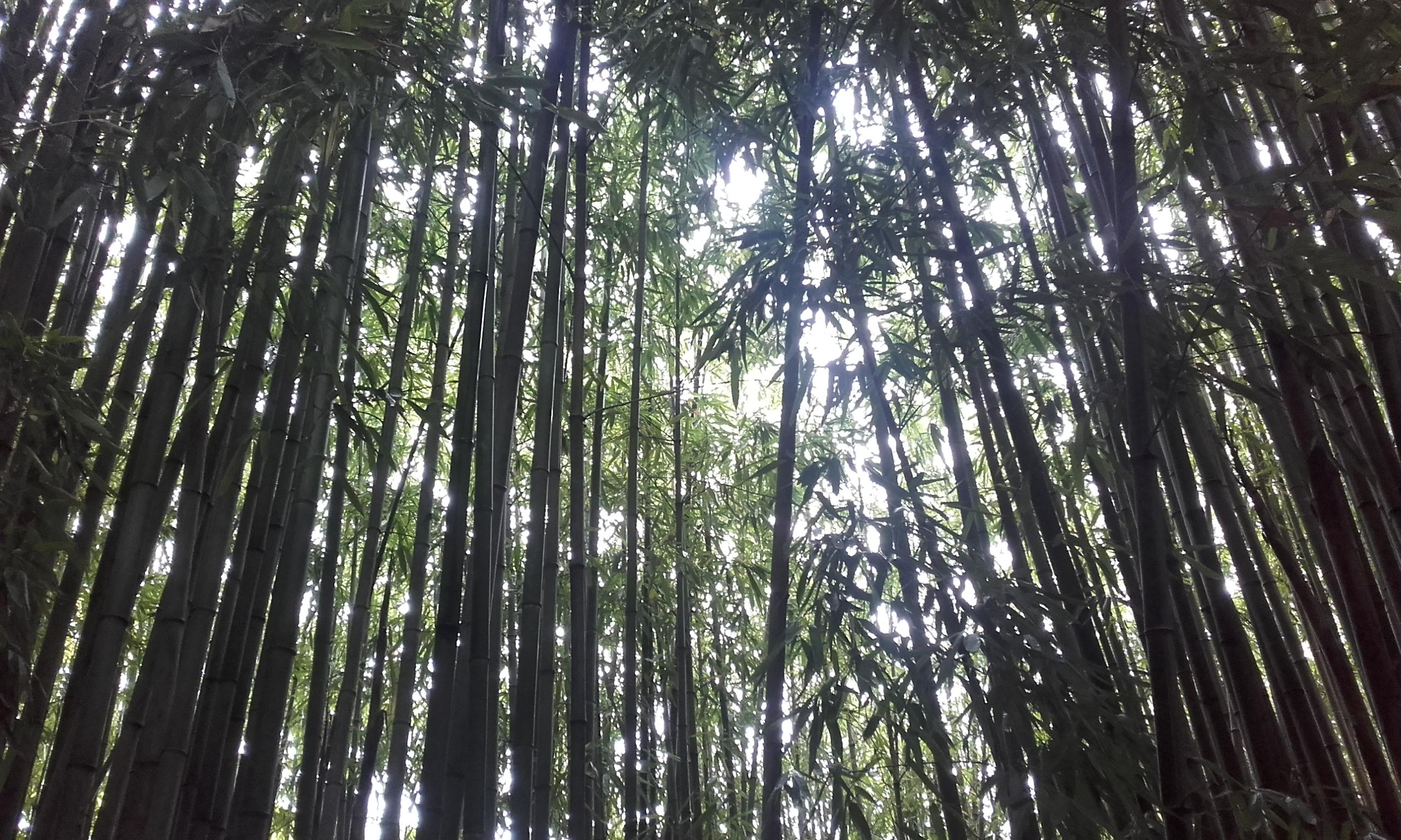 La plantación de bambú en el Wiki Hostel
