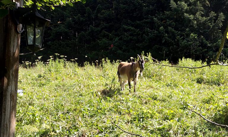La cabra encadenada en un árbol del hostal