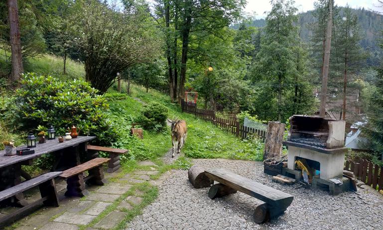 La cabra merodeando por el patio, antes de llevarla de vuelta a casa